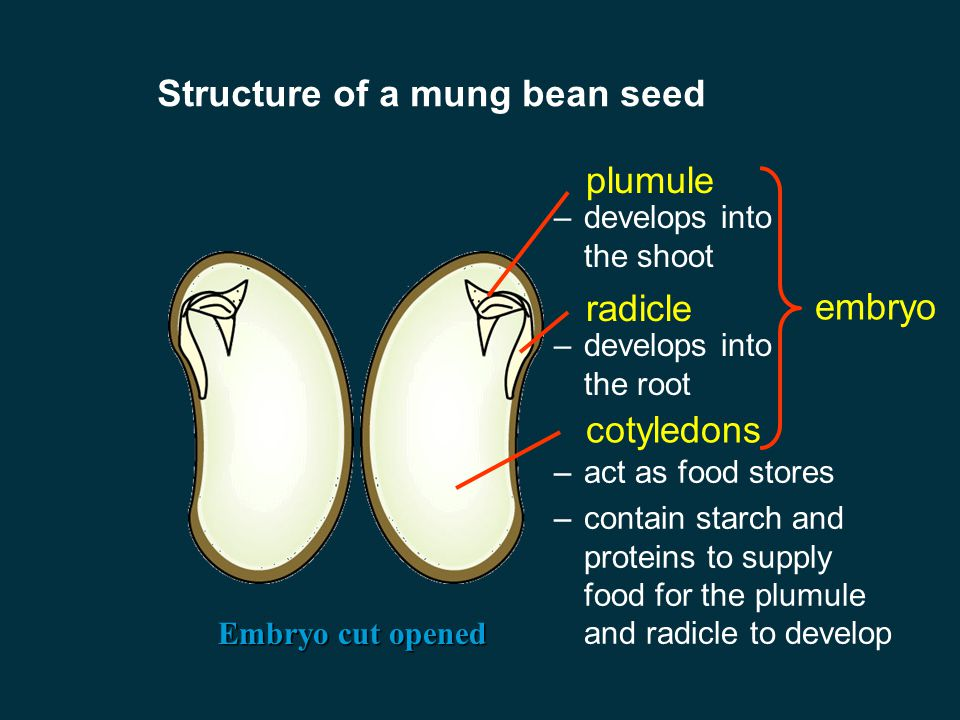 Structure of a mung bean seed