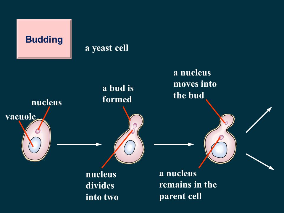 Budding a yeast cell. a nucleus moves into the bud. a bud is formed. nucleus. vacuole. nucleus divides into two.