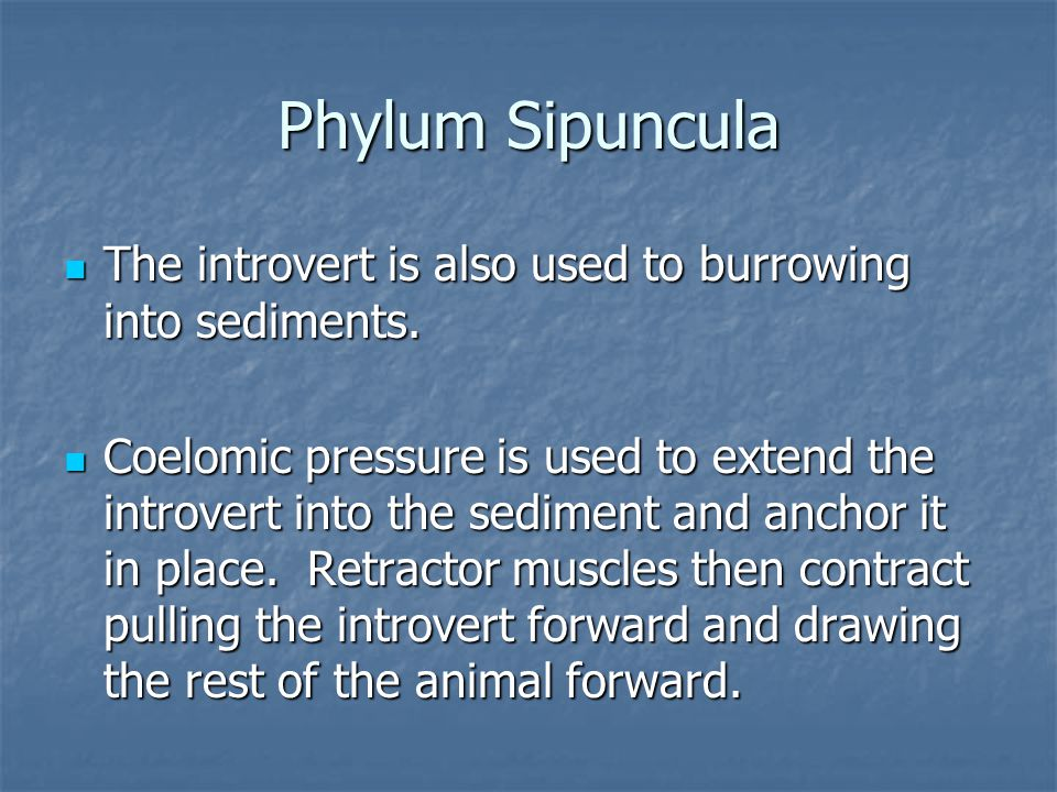 Phylum Sipuncula The introvert is also used to burrowing into sediments.