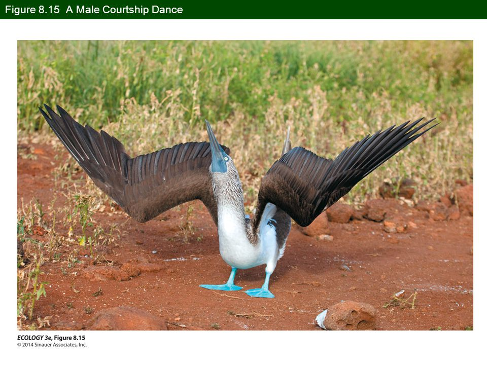 Figure 8.15 A Male Courtship Dance