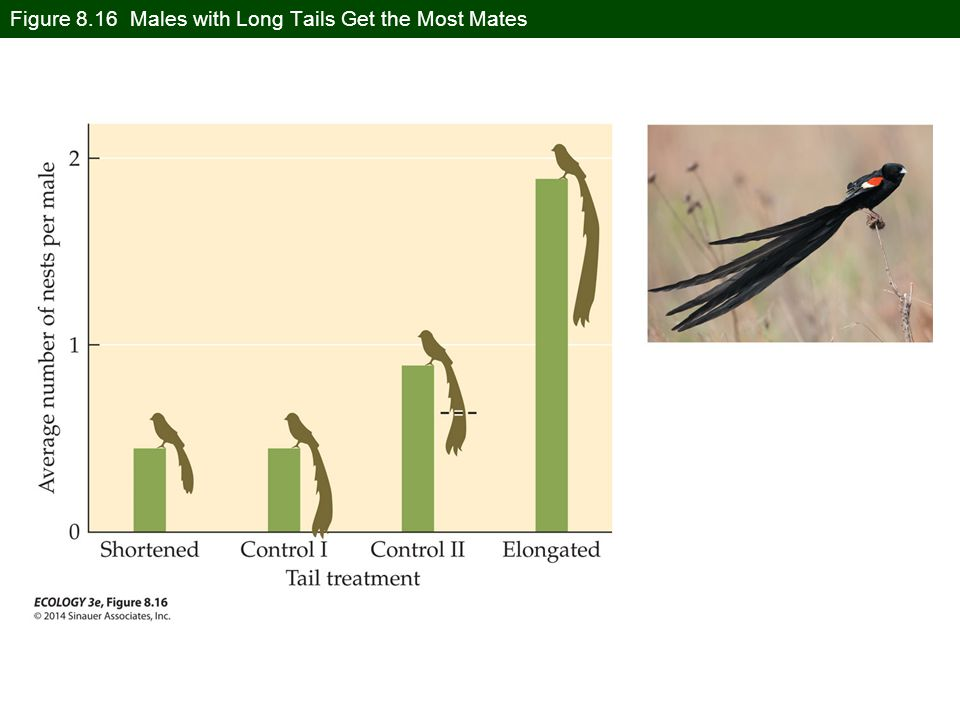 Figure 8.16 Males with Long Tails Get the Most Mates