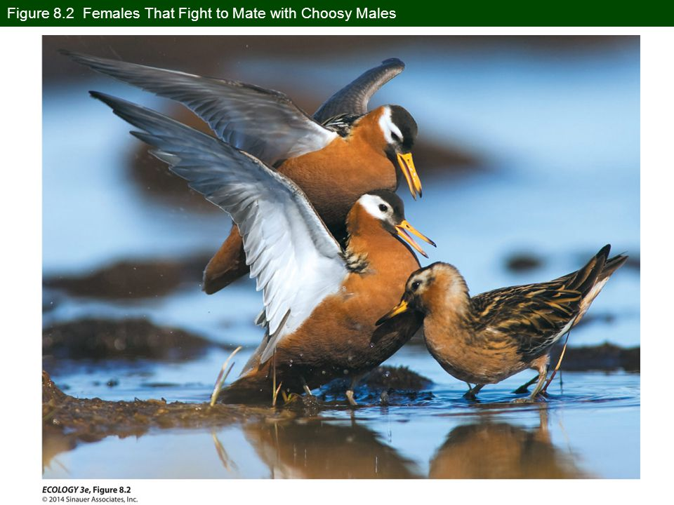Figure 8.2 Females That Fight to Mate with Choosy Males