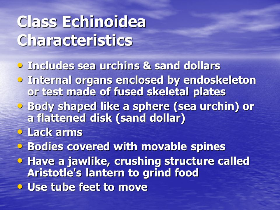 Class Echinoidea Characteristics