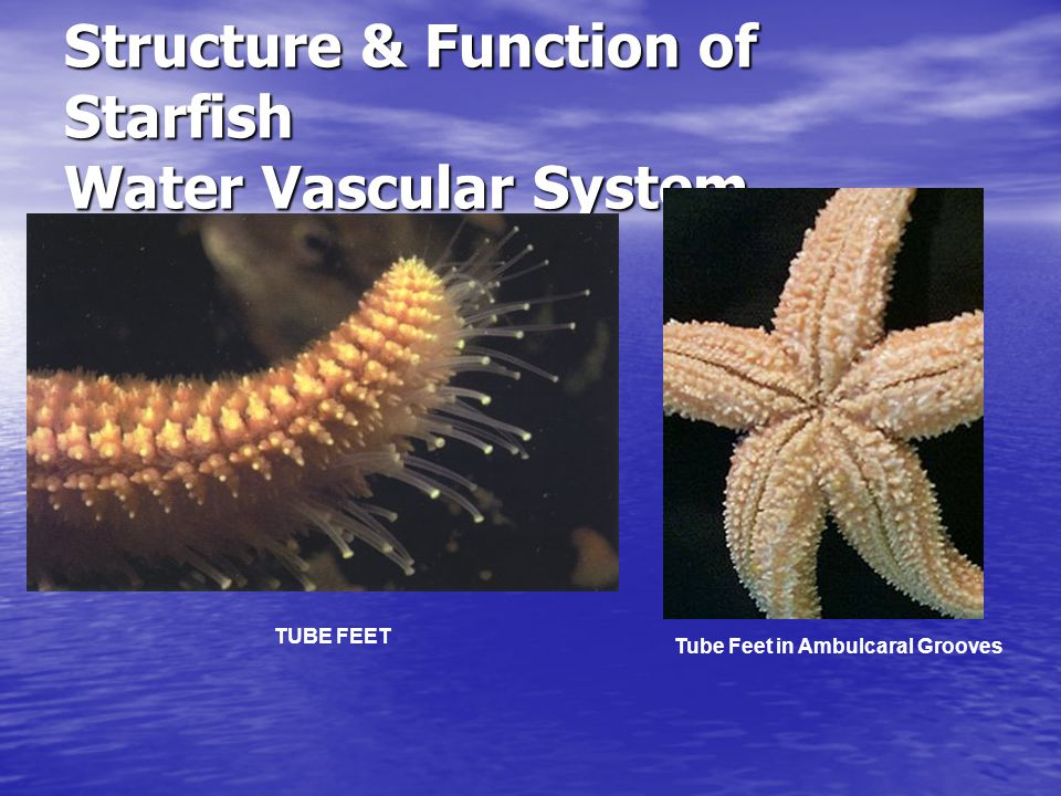 Structure & Function of Starfish Water Vascular System