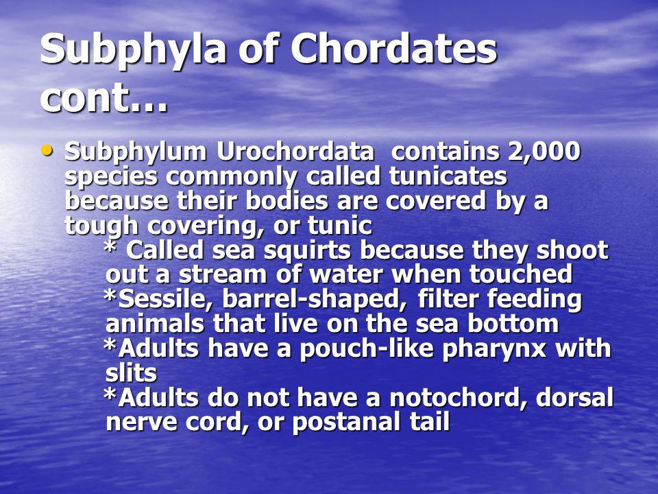 Subphyla of Chordates cont…