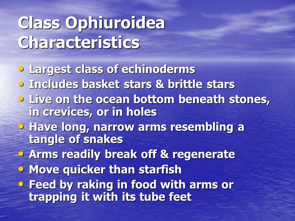Class Ophiuroidea Characteristics