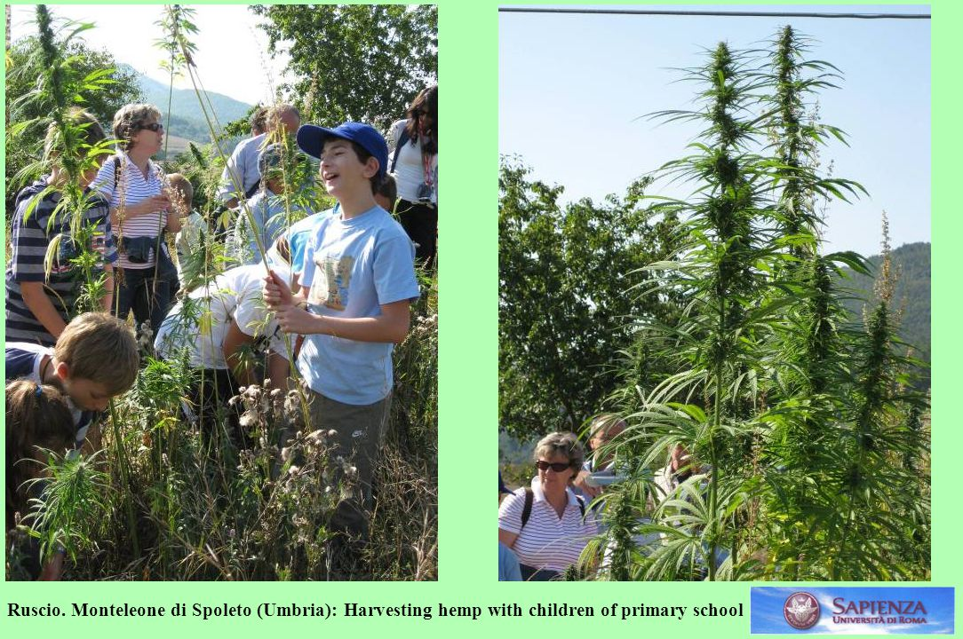 Ruscio. Monteleone di Spoleto (Umbria): Harvesting hemp with children of primary school