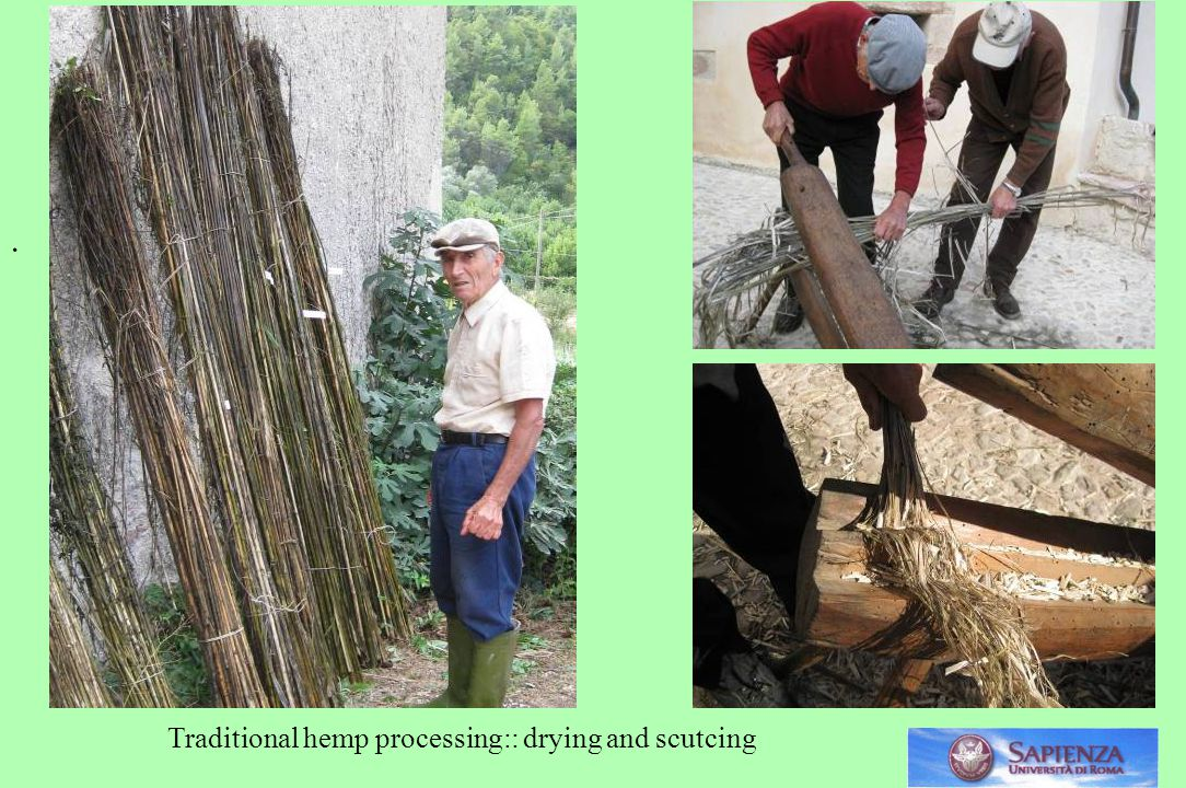 . Traditional hemp processing:: drying and scutcing