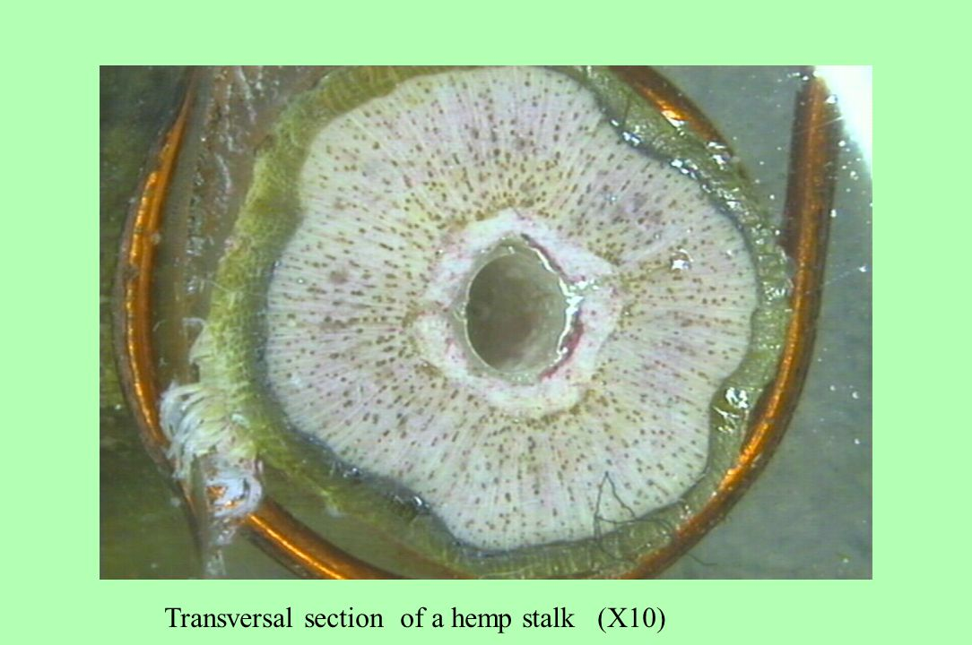 Transversal section of a hemp stalk (X10)