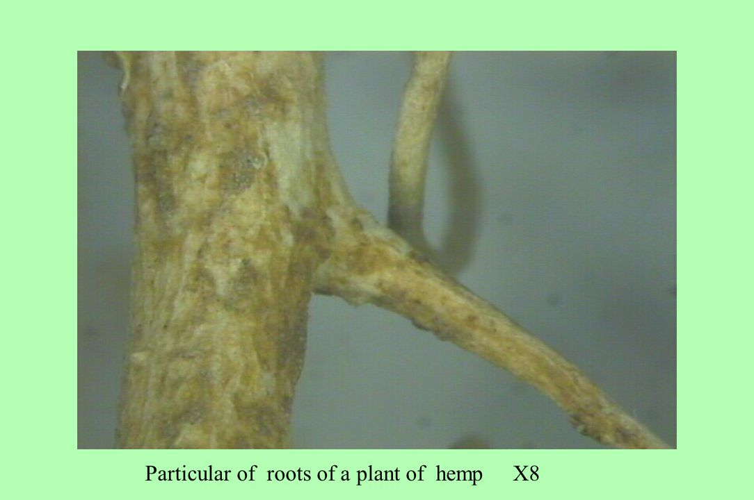 Particular of roots of a plant of hemp X8