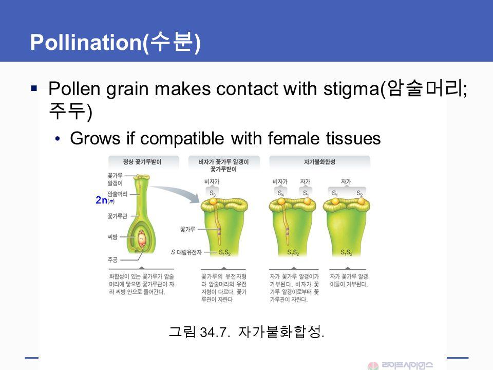 Pollination(수분) Pollen grain makes contact with stigma(암술머리; 주두)