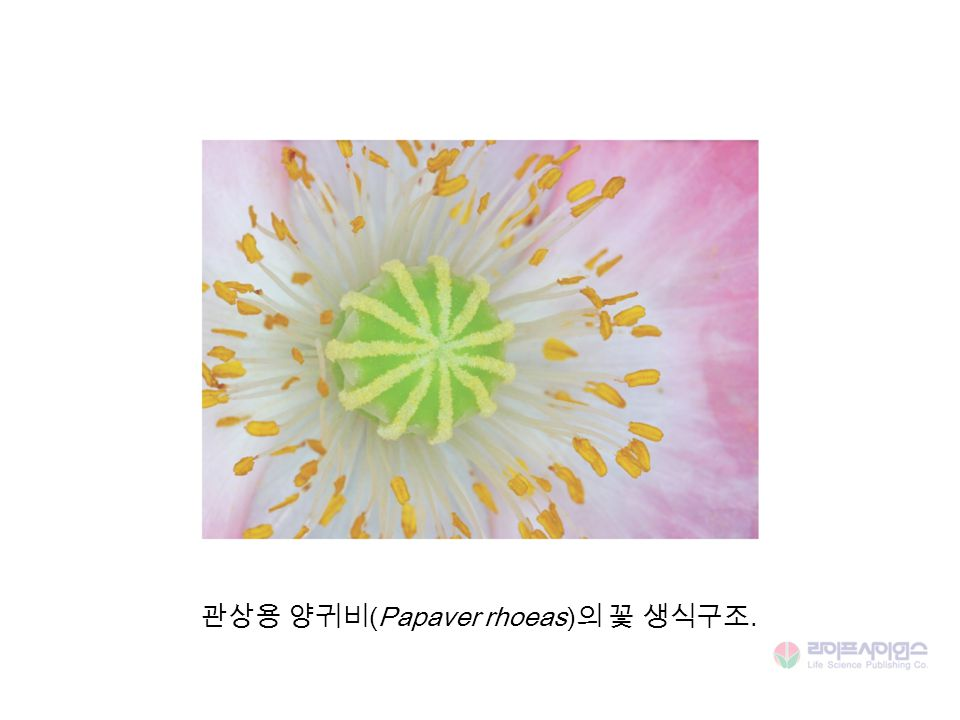 관상용 양귀비(Papaver rhoeas)의 꽃 생식구조.