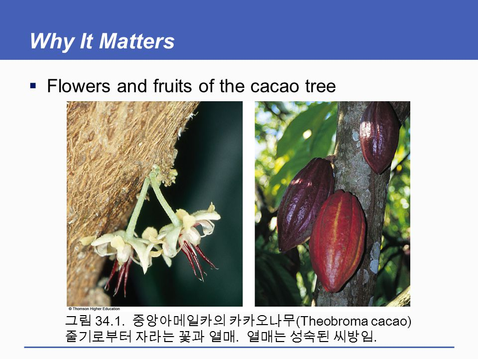 Why It Matters Flowers and fruits of the cacao tree