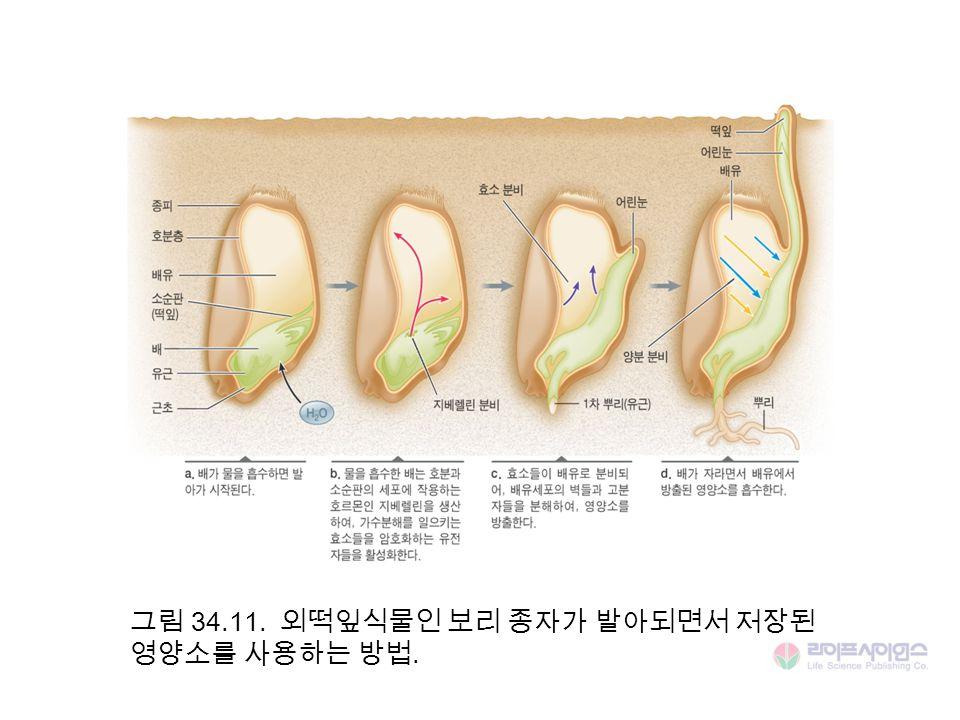 그림 34.11. 외떡잎식물인 보리 종자가 발아되면서 저장된 영양소를 사용하는 방법.