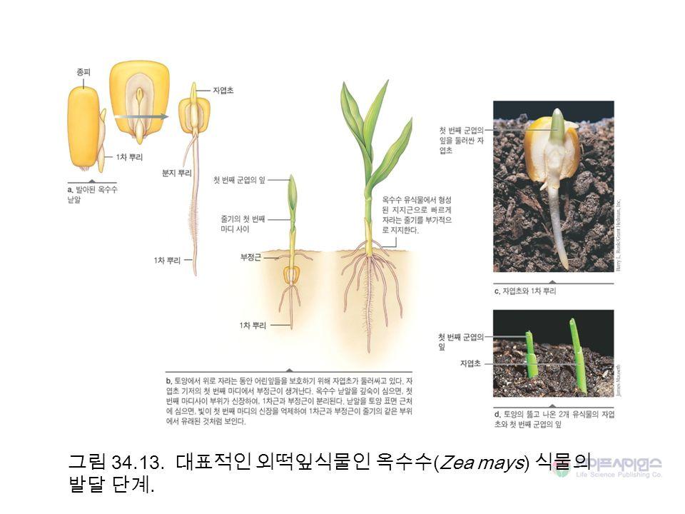 그림 34.13. 대표적인 외떡잎식물인 옥수수(Zea mays) 식물의 발달 단계.