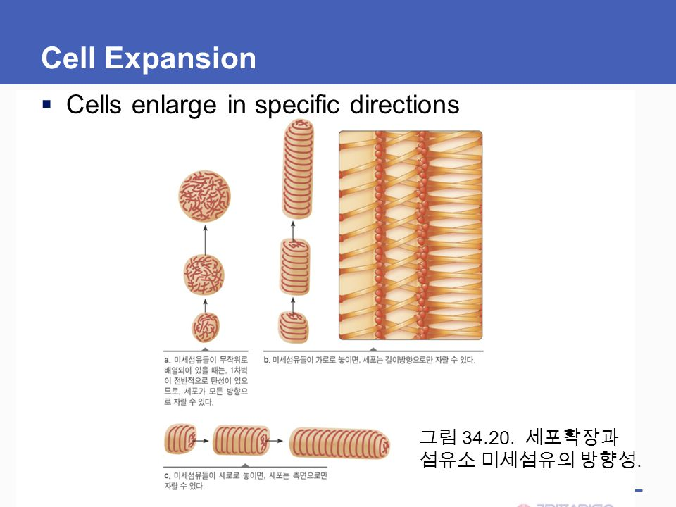 Cell Expansion Cells enlarge in specific directions