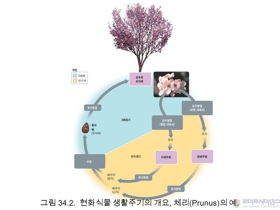 그림 34.2. 현화식물 생활주기의 개요, 체리(Prunus)의 예.