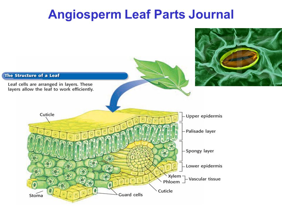 Angiosperm Leaf Parts Journal