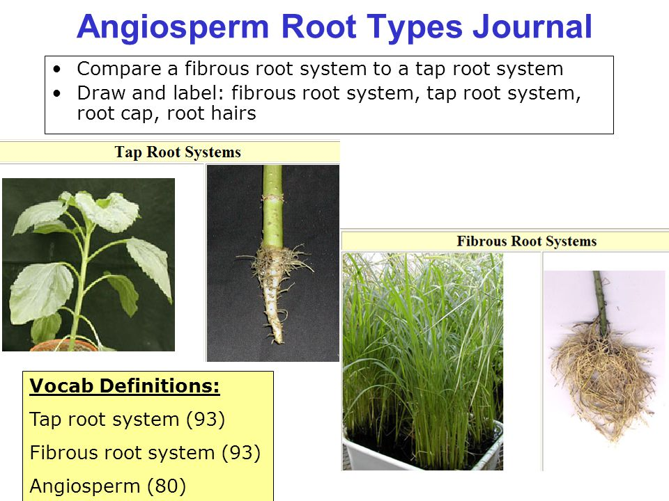 Angiosperm Root Types Journal