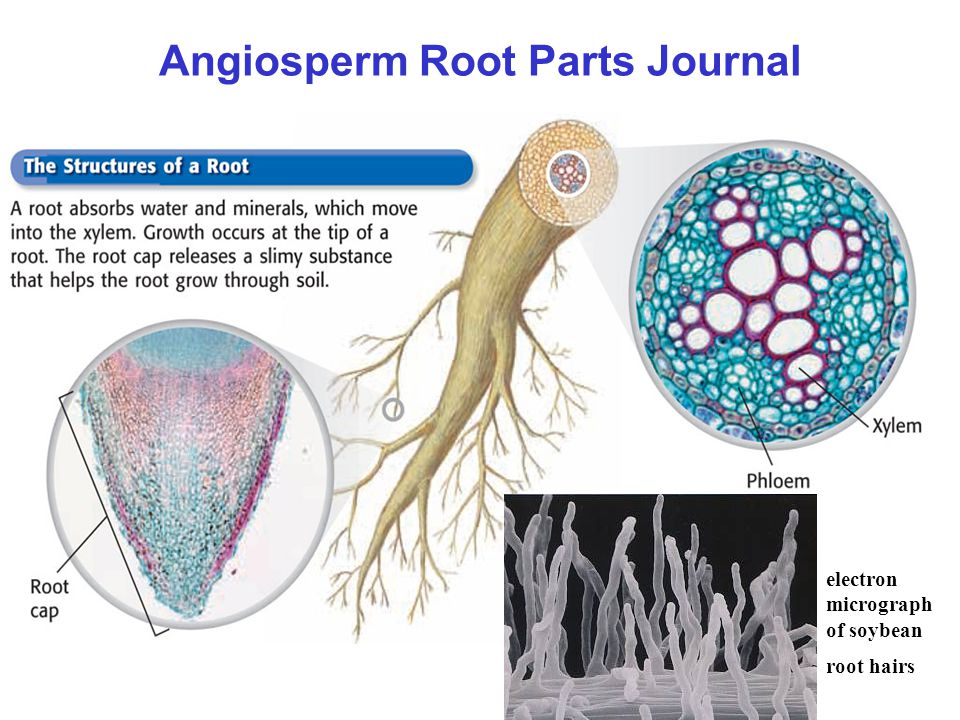 Angiosperm Root Parts Journal