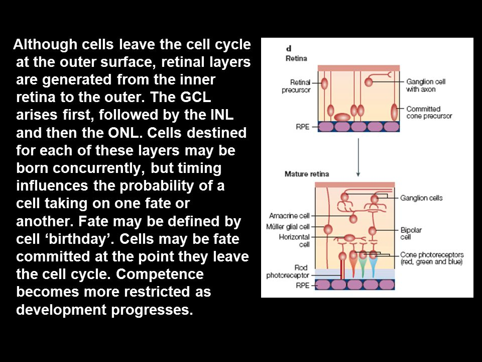 Although cells leave the cell cycle at the outer surface, retinal layers are generated from the inner retina to the outer.