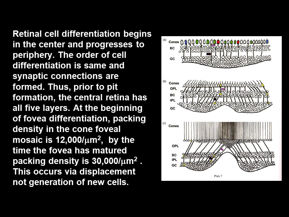 Retinal cell differentiation begins in the center and progresses to periphery.