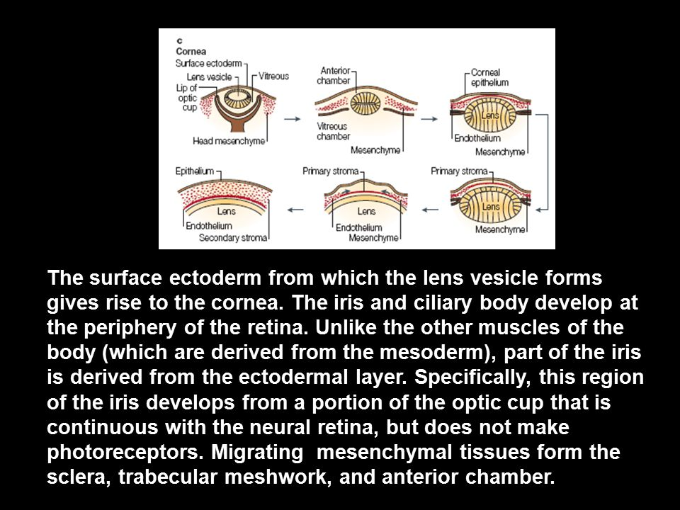 The surface ectoderm from which the lens vesicle forms gives rise to the cornea.