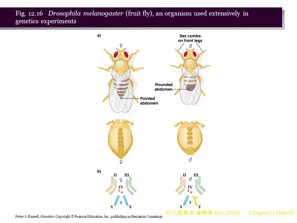 Fig. 12.16 Drosophila melanogaster (fruit fly), an organism used extensively in genetics experiments