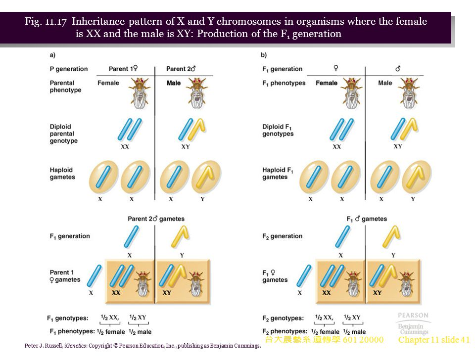Fig. 11.17 Inheritance pattern of X and Y chromosomes in organisms where the female is XX and the male is XY: Production of the F1 generation