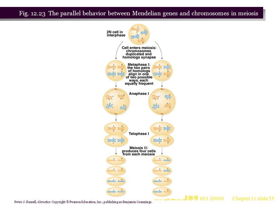Fig. 12.23 The parallel behavior between Mendelian genes and chromosomes in meiosis