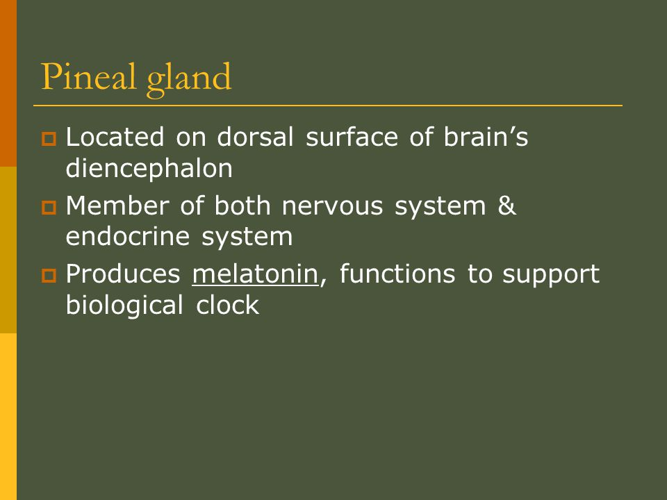 Pineal gland Located on dorsal surface of brain's diencephalon