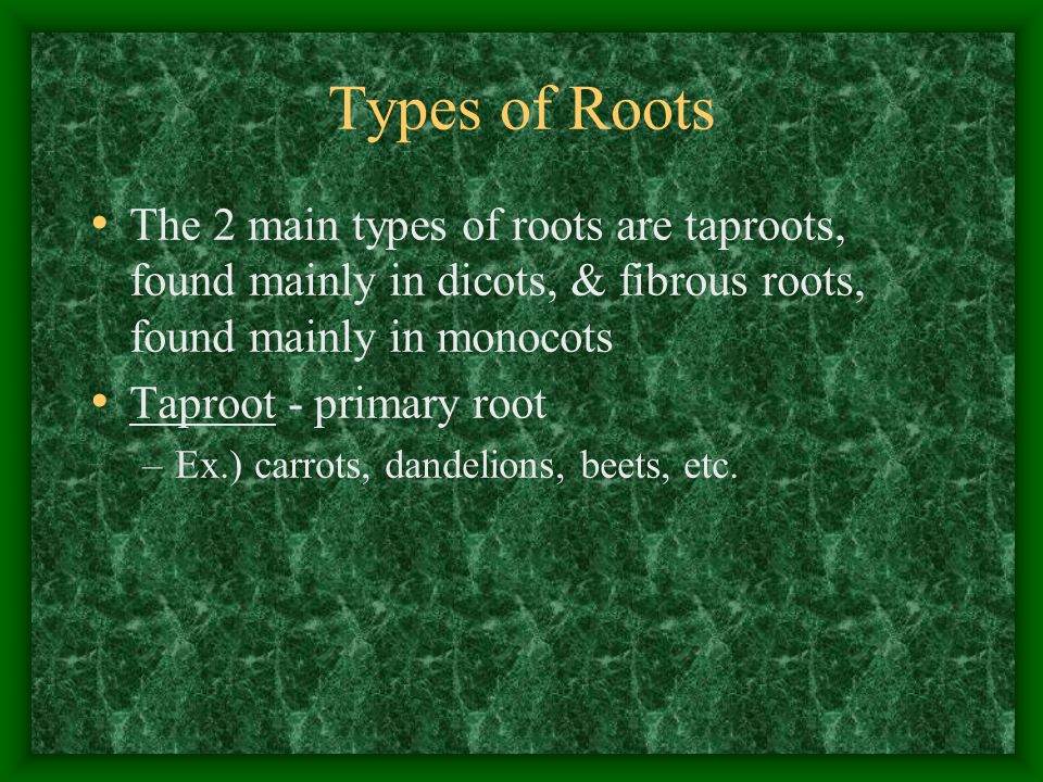 Types of Roots The 2 main types of roots are taproots, found mainly in dicots, & fibrous roots, found mainly in monocots.