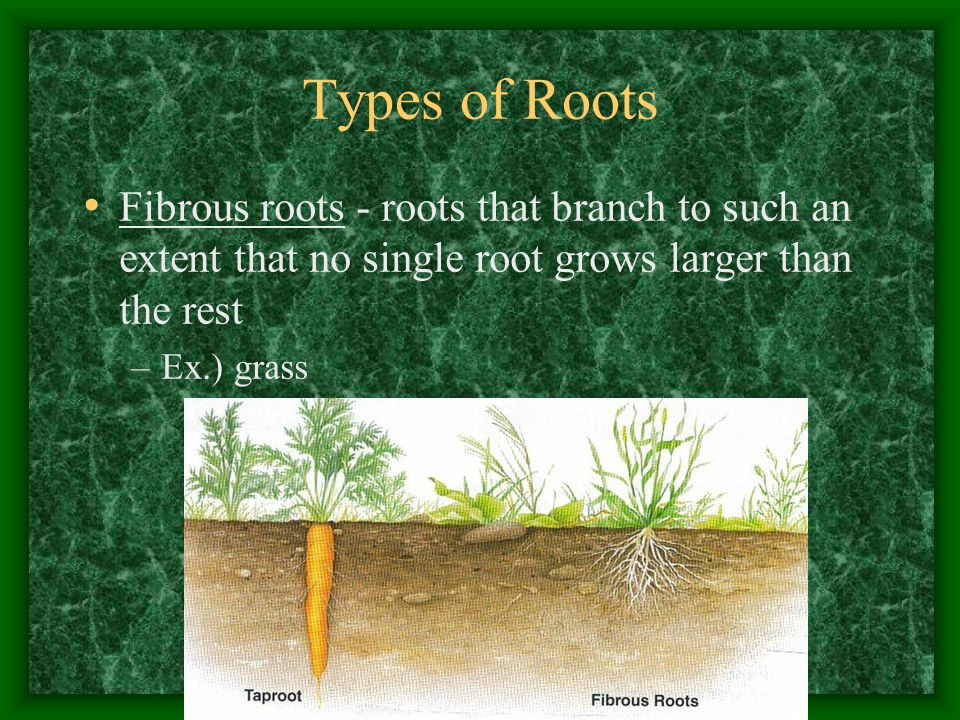 Types of Roots Fibrous roots - roots that branch to such an extent that no single root grows larger than the rest.