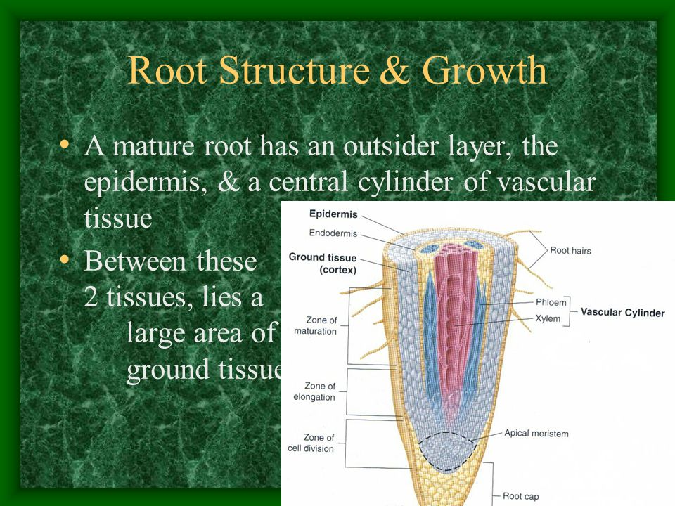 Root Structure & Growth