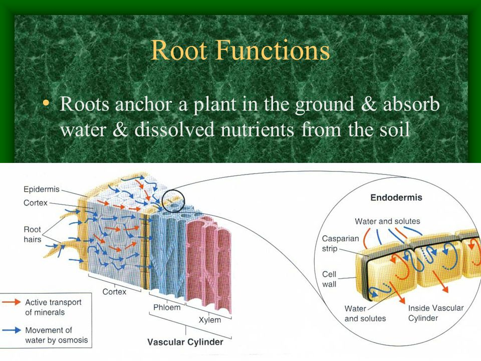 Root Functions Roots anchor a plant in the ground & absorb water & dissolved nutrients from the soil.