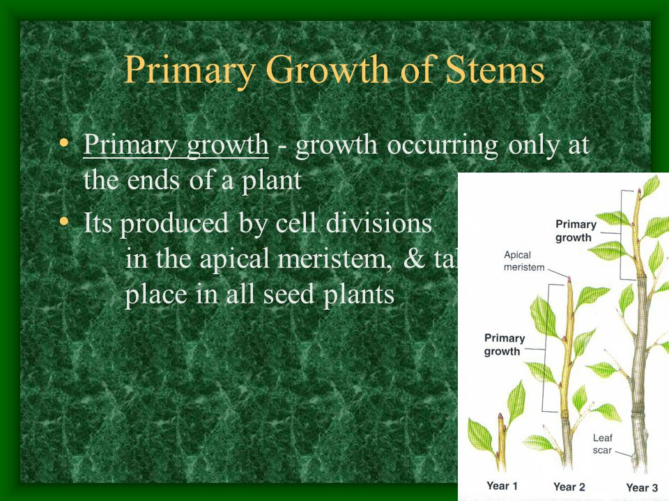 Primary Growth of Stems