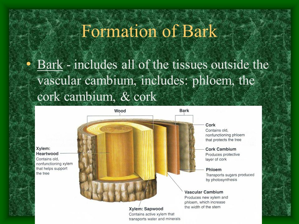 Formation of Bark Bark - includes all of the tissues outside the vascular cambium, includes: phloem, the cork cambium, & cork.