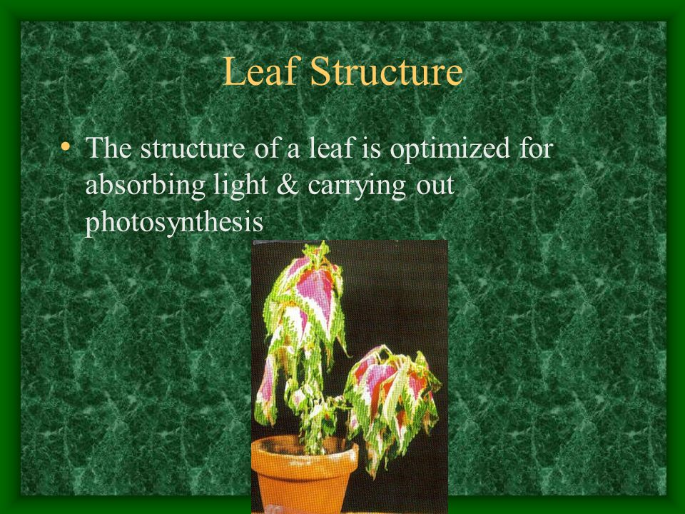 Leaf Structure The structure of a leaf is optimized for absorbing light & carrying out photosynthesis.