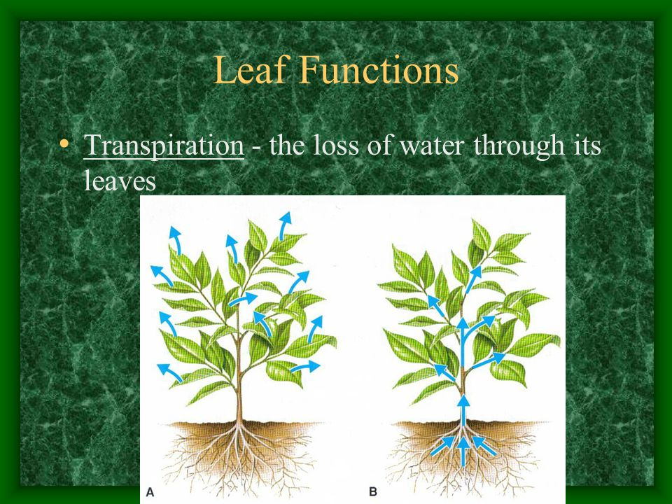 Leaf Functions Transpiration - the loss of water through its leaves