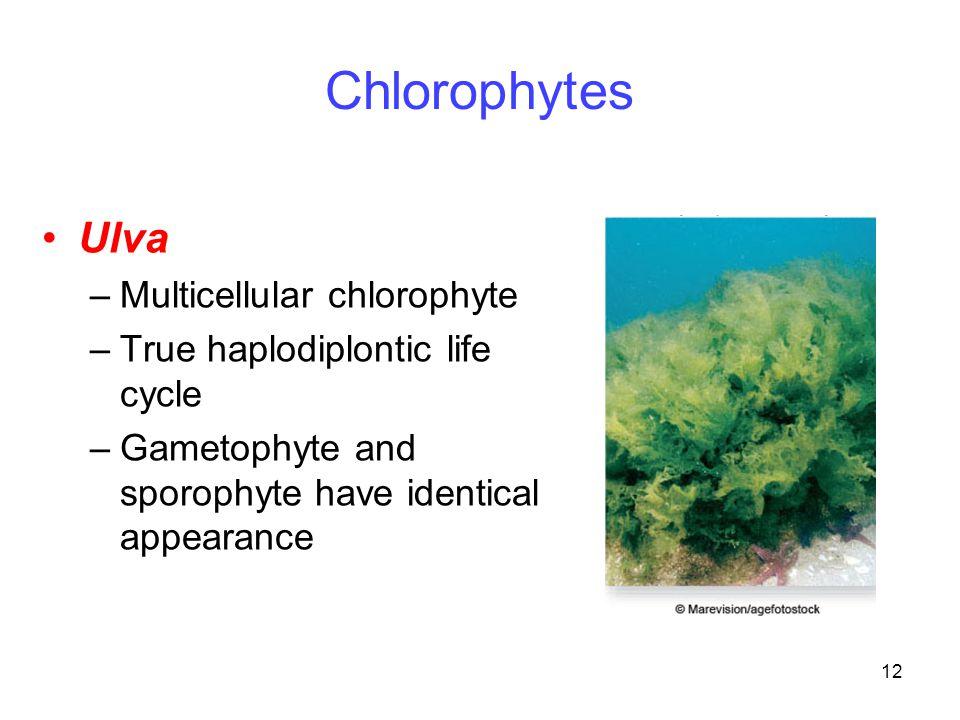 Chlorophytes Ulva Multicellular chlorophyte