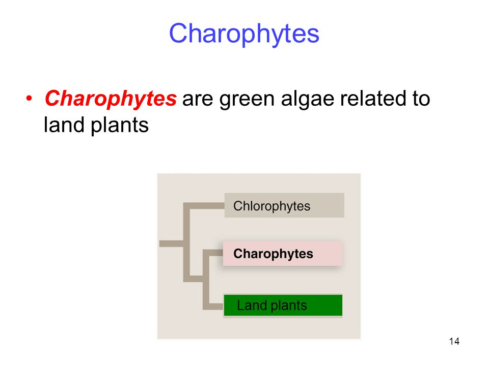 Charophytes Charophytes are green algae related to land plants
