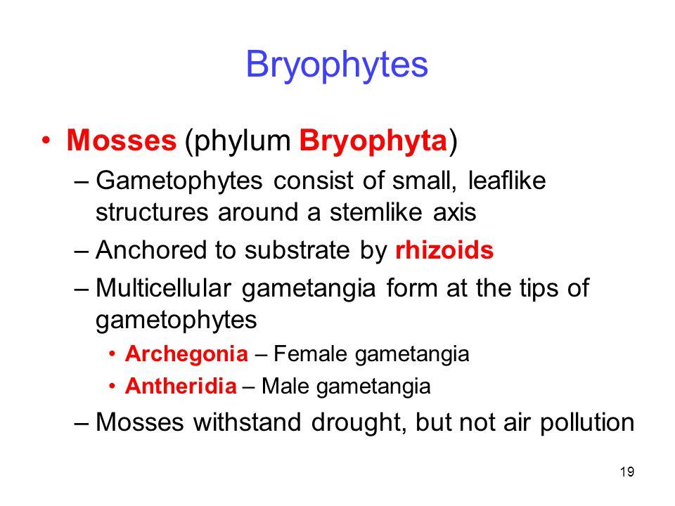 Bryophytes Mosses (phylum Bryophyta)
