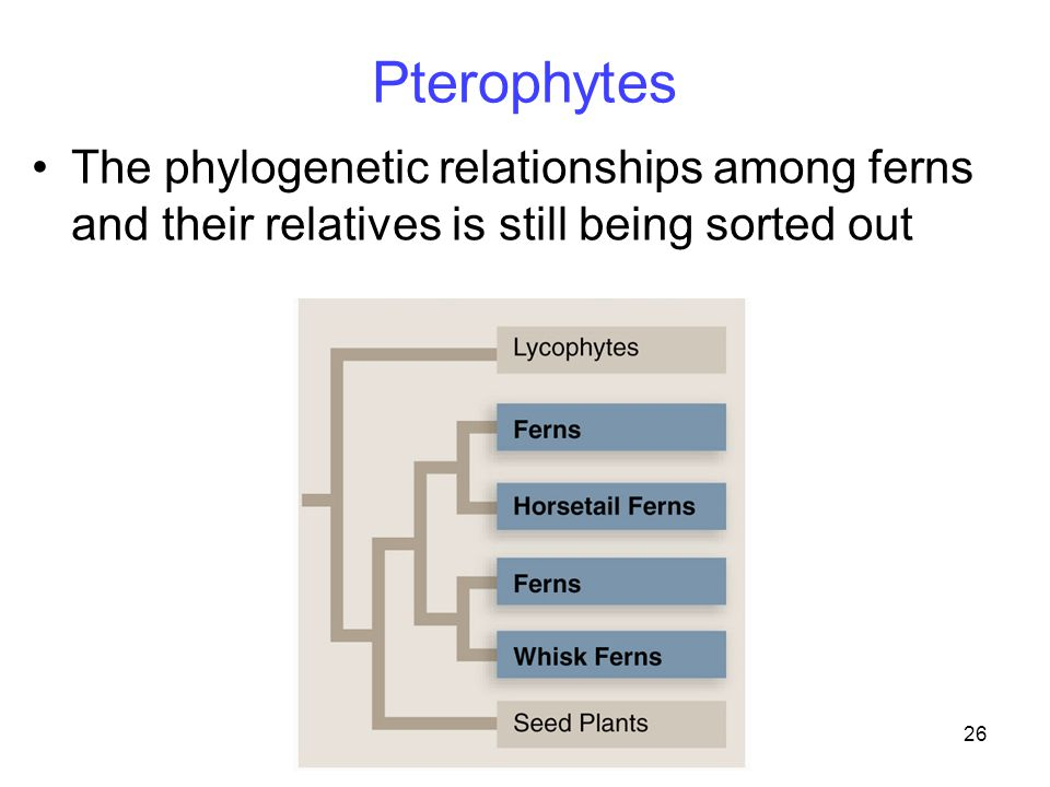 Pterophytes The phylogenetic relationships among ferns and their relatives is still being sorted out.