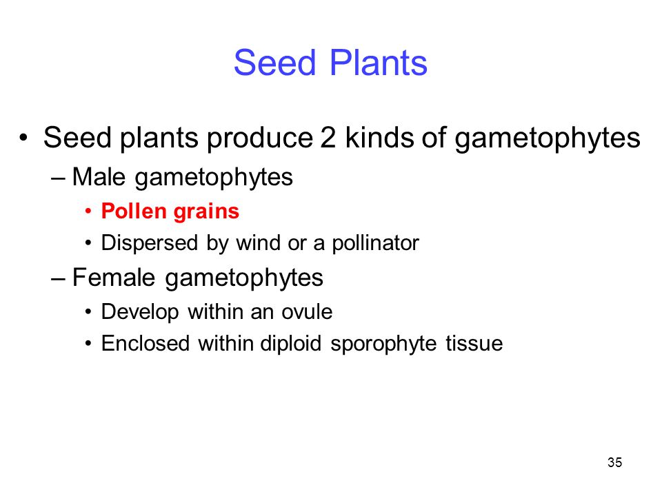 Seed Plants Seed plants produce 2 kinds of gametophytes