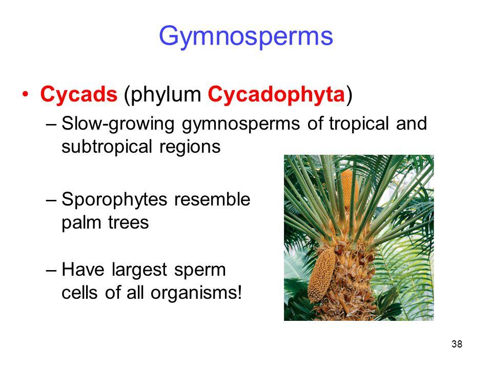 Gymnosperms Cycads (phylum Cycadophyta)