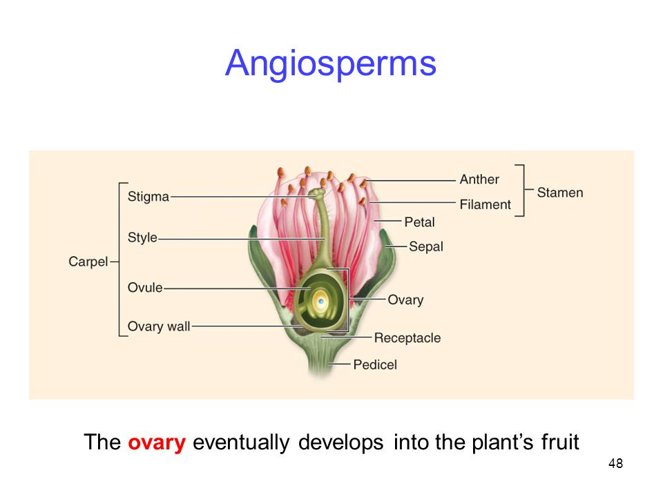 The ovary eventually develops into the plant's fruit
