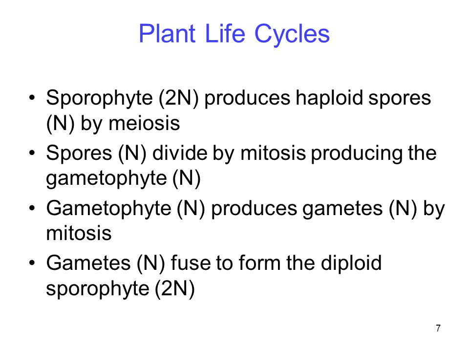 Plant Life Cycles Sporophyte (2N) produces haploid spores (N) by meiosis. Spores (N) divide by mitosis producing the gametophyte (N)