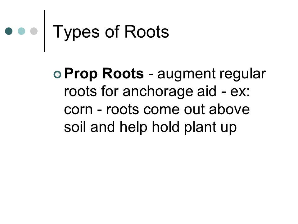 Types of Roots Prop Roots - augment regular roots for anchorage aid - ex: corn - roots come out above soil and help hold plant up.