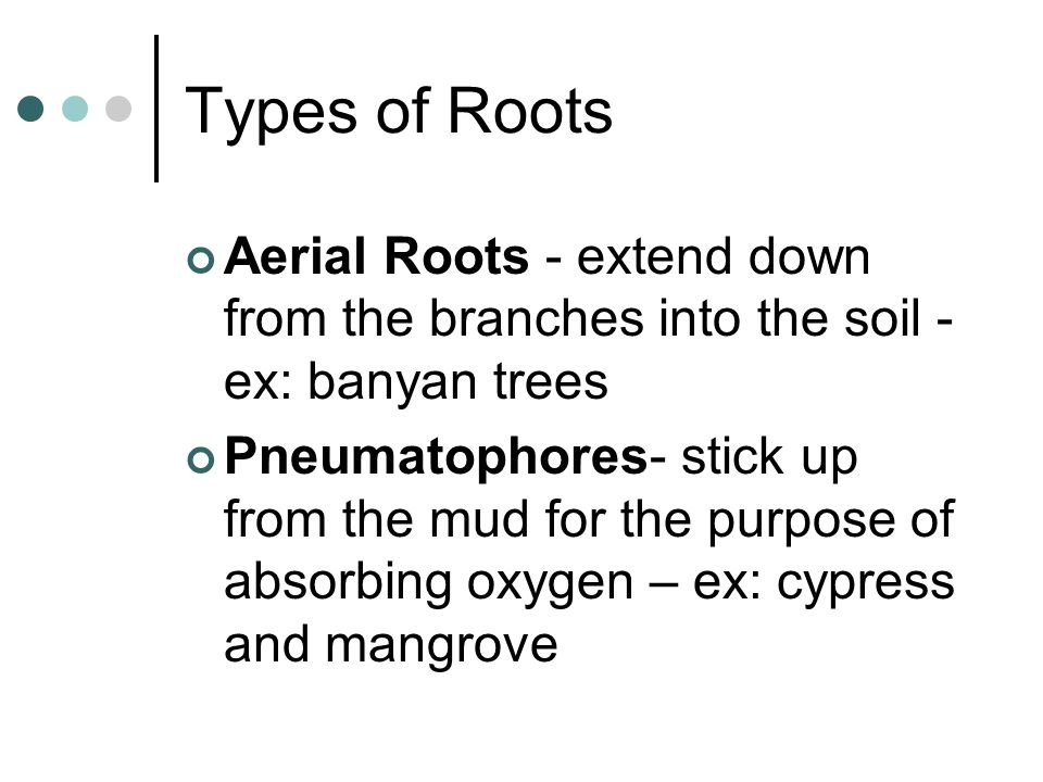 Types of Roots Aerial Roots - extend down from the branches into the soil - ex: banyan trees.