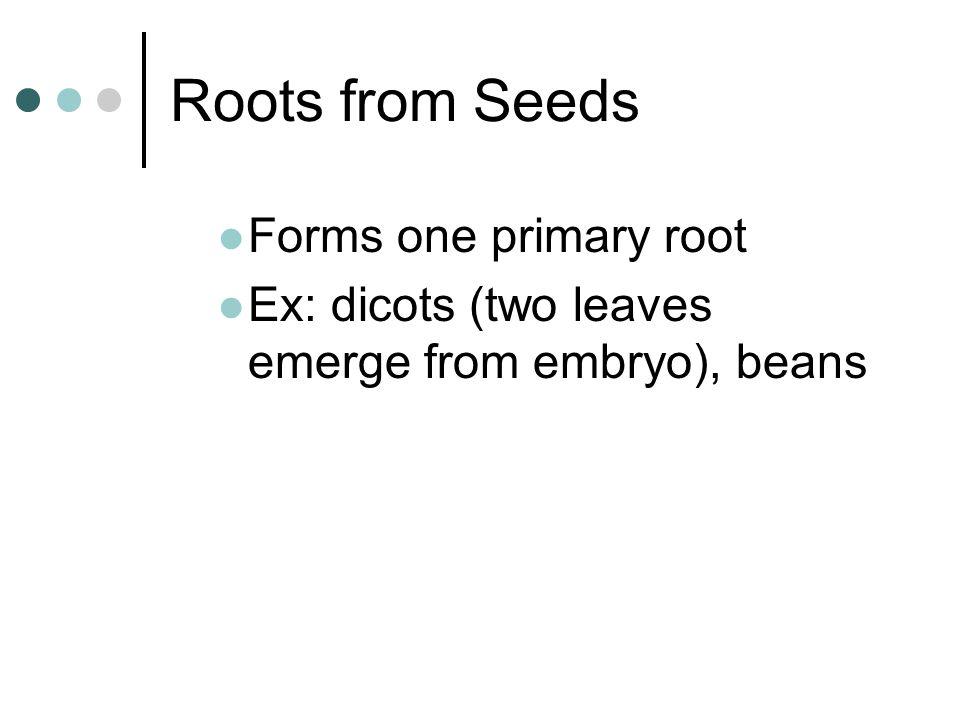 Roots from Seeds Forms one primary root